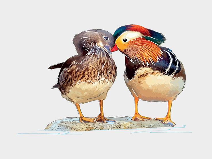 Mandarin ducks digital illustrations