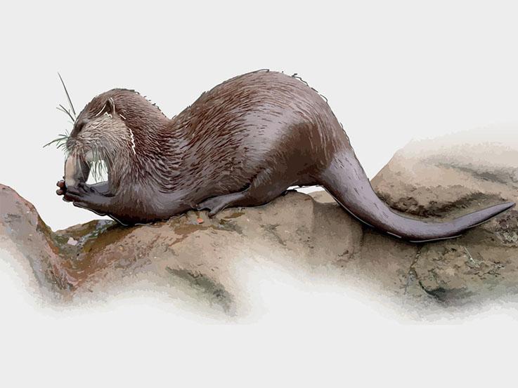 Otter digital illustrations